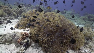 Red Sea Anemone Fish in Magnificent anemone including juvenile anemone fish