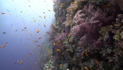 Healthy Coral Reef Wall, Red Sea