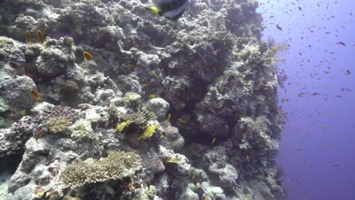 Bat Fish swimmng around Coral Reef Wall, Red Sea