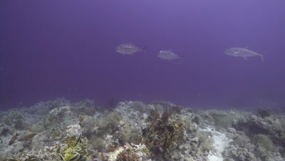 2 Blue trevally swimming along coral reef