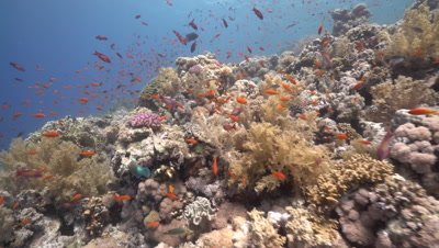 Large Salad Coral on healthy Coral Reef, Red Sea