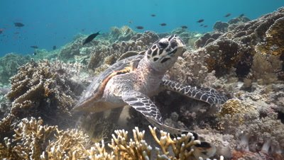 Hawksbill sea turtle feeding on coral reef