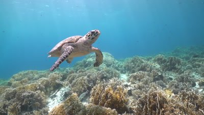 Hawksbill sea turtle swimming over coral reef exit frame