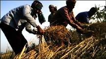 Bengali Men Harvest Rice