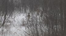 White-Tailed Deer, Doe Leading Fawn Into Woods In Winter Storms