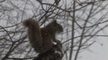 Red Squirrel Enters, Sits On Branch In Snow, Eats, Exits