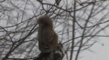Red Squirrel Sitting On Branch In Snow, Eating, Exits, Blue Jay Enters, Picks Up Left Over Food, Exits