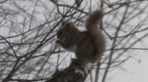 Red Squirrel Enters, Sits On Branch In Snow, Eats