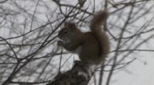 Red Squirrel Sitting On Branch In Snow, Eats, Cleans Face, Exits