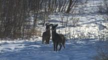 White-Tailed Deer In Winter, Two Fawns, One Stamps Foot For Danger