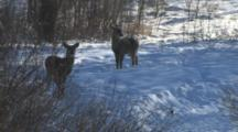 White-Tailed Deer, Two Fawns At Dawn, One Nervous, Turns Toward Other