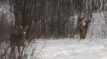 White-Tailed Deer, Doe And Two Fawns Hesitating, Doe Stamps Foot, Runs, Passes Fawns, All Exit
