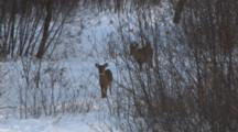 White-Tailed Deer, Doe And Fawns,Trot Into View On Winter Trail