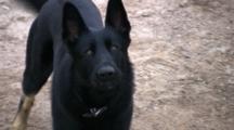 Black German Shepherd Dog, Aggressive Toward Camera, Barking