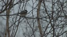 Black-Capped Chickadee Sitting In Birch Tree, Snow Falling, Another Enters, Exits