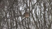 Mourning Dove, Cold, Sleepy, Resting On Branch In Birch Tree In Winter