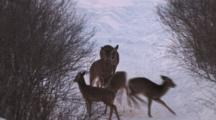 Aggressive White-Tailed Deer, Running, Pawing, Chasing