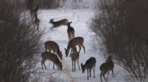 Angry Mob Of White-Tailed Deer, Defending Birdseed, Chasing Each Other