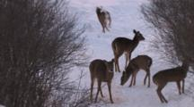 Aggressive White-Tailed Does, Fawns, Rearing, Chasing Others, One Runs Off
