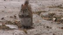 Red Squirrel Foraging On Ice Patch, Finds Seed, Eats