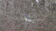 Blue Jay Sitting On Bare Deciduous Branch, Looking Around, Exits Bottom