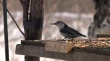 White-Breasted Nuthatch, Flys Off With Large Piece Of Suet