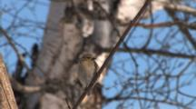 American Goldfinch In Winter Plumage, Looking Around In Sky, At Ground, Exits