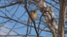 American Goldfinch In Winter Plumage, Cleaning Beak On Bare Tree Branch, Twists, Exits