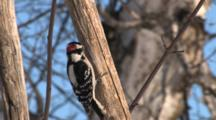 Downey Woodpecker On Bare Branch, Moves Around Branch, Exits