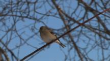 American Goldfinch In Winter Plumage, Resting On Bare Tree Branch, Exits