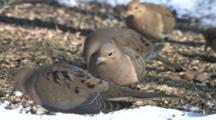 Competitive Mourning Doves Feeding On Ground In Snow