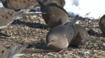 Mourning Doves Feeding On Ground, Snow In Background