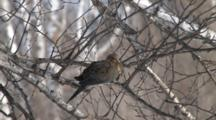 Mourning Dove Resting In Sunlight In Birch Tree