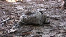 Ruffed Grouse, Dead, Lying On Ground