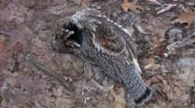 Ruffed Grouse, Dead, Lying On Matted Leaf Litter