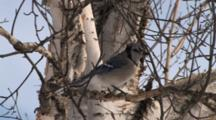 Blue Jay Sitting On Bare Birch Tree Branch, Exits Quickly