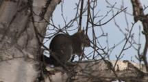 Grey Squirrel Sitting In Birch Tree, Chewing, Exits Bottom