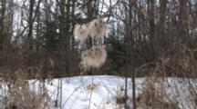Clematis Vine In Winter, Clusters Of Fluffy Seed Pods