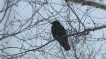American Crow Sitting In Tree During Snowstorm