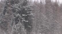 Spruce Trees, White Pine, Tamaracks, In Heavy Falling Snow