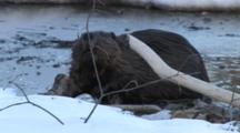 American Beaver First Emerging From Winter In Icy Spring Pond, Dives