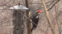 Pileated Woodpecker Feeding On Suet At Birdfeeder