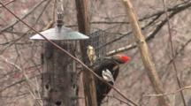 Pileated Woodpecker Feeding At Birdfeeder, Black-Capped Chickadee Watching, Both Scared, Exit