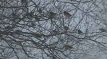 Purple Finche, American Goldfinches In Tree During Blizzard, Coming, Going
