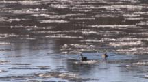 Canada Geese Bumping, Paddling Through Ice Floes On River In Spring