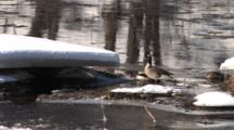Canada Geese Resting, Feeding On River In Spring, Ice Flowing Past, Winter Breakup