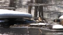 Canada Geese Resting, Feeding On River In Spring, Ice Flowing, Winter Breakup