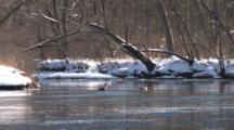 Canada Geese Territorial On River In Spring, Ice Flowing, Winter Breakup