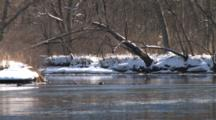 Canada Geese Fighting Over Territory On River In Spring, Ice Flowing, Winter Breakup