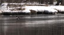 Common Merganser In River, Swimming, Bathing, Ice And Snow On Banks Of River